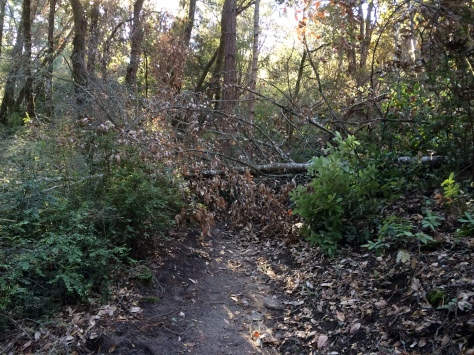 Henry Cowell Redwoods State Park: Fallen Tree