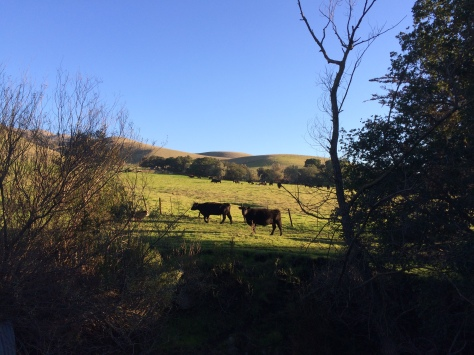 Cows @ Horse Heaven